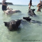 So Much More Than Just Swimming Pigs!